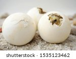 Stock photo africa spurred tortoise are born naturally tortoise hatching from egg cute portrait of baby 1535123462
