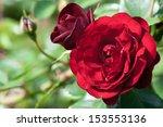 Garden Red Roses