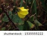 Yellow Flower Of Lagoon...