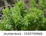 Mountain Savory Leaves   Latin...