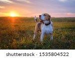 Dog Breed Beagle On A Walk On...