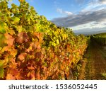 Looking Down A Row Of Vines In...