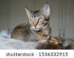 Stock photo gorgeous arabian mau abyssinian mix kitten with amazing green eyes posing on a fur blanket 1536332915