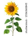 Immature Sunflower Isolated On...