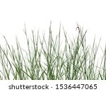 Reeds Of Grass Isolated And...