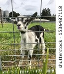 Adorable baby goat at Penny Royal Farm in Boonville, California.