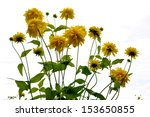 tall coneflower | Shutterstock . vector #153650855