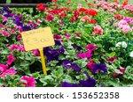 Petunia Surfinia Plants In Pots ...