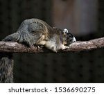 Sherman's Fox Squirrel Resting...