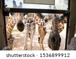 Many Cute Hungry Giraffe Wild...
