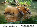 Red River Hog  Potamochoerus...