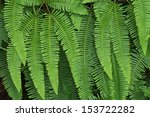 Green Fern As A Background