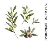 watercolor set of olive... | Shutterstock . vector #1537451972