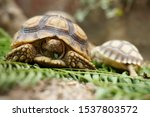 Stock photo close up african spurred tortoise resting in the garden slow life africa spurred tortoise 1537803572