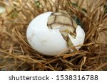 Stock photo africa spurred tortoise are born naturally tortoise hatching from egg cute portrait of baby 1538316788