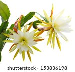 Yellow Epiphyllum Flower Plant...