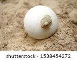 Stock photo africa spurred tortoise are born naturally tortoise hatching from egg cute portrait of baby 1538454272