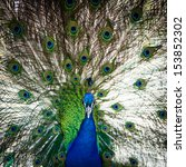splendid peacock with feathers