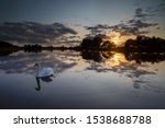 Mute Swan On A Calm Lake In...
