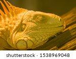 Close Up Yellow Iguana Sleep O...