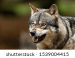 Portrait of a grey wolf angry...