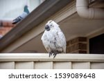 Sulphur Crested Cockatoo...