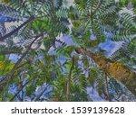 Kohomba Trees In Sri Lanka