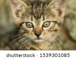 Stock photo closeup portrait of a gray kitten in the environment wonderful portrait of a gray kitten in the 1539301085