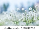 Beautiful White Dandelion...