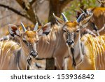 antelope from senegal | Shutterstock . vector #153936842