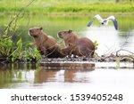 Capybara And Heron  Wetland  Mt ...