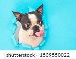The Boston Terrier Dog's Head...
