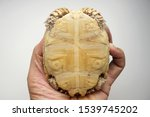 Stock photo tortoise on the hands of man african spurred tortoise cute portrait of baby tortoise geochelone 1539745202