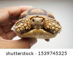 Stock photo tortoise on the hands of man african spurred tortoise cute portrait of baby tortoise geochelone 1539745325