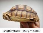 Stock photo tortoise on the hands of man african spurred tortoise cute portrait of baby tortoise geochelone 1539745388