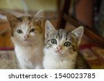 Stock photo two kittens friends two interesting little kittens in the room 1540023785