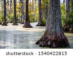Roots Of Bald Cypress Tree...