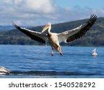 Great White Pelican  Pelecanus...