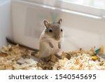 Little Mouse  Brown Gerbil Cub...