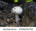 Flaky Puffball Young Mushroom ...