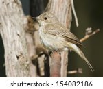 Small photo of Large Flycatcher Melaenornis microrhynchus