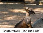 Kangaroo Waiting Fo Food  In A...