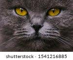 The British Cat Stares...