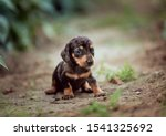 Stock photo brown dog with blue eyes is sitting on the grass dachshund puppy little puppy marble tabby 1541325692