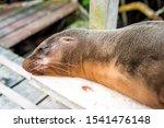 A Lazy Sea Lion Sleeps On A...