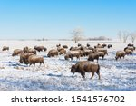 Genetically Pure Wild Bison On The Colorado Prairie
