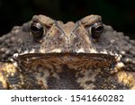 Macro Close Up Thai Toad.front...