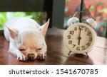 Short Hair White Chihuahua Dog...