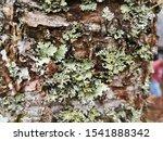 Leiken Up On The Tree.  Lichen...