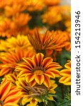 Gazania Close Up On Bed In...